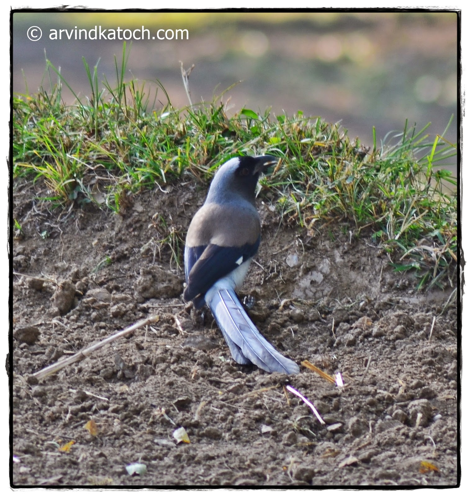 Grey Treepie, Fields