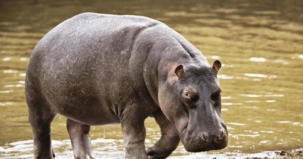 فرس النهر الضخم و حقائق كثيرة عن هذا الحيوان عالم الحيوان Animal S World
