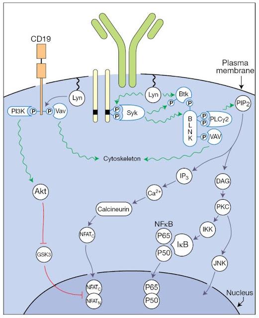 Signaling cascade downstream of antigen‐driven Bcell receptor (BCR) ligation