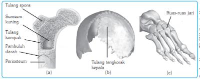 Bentuk-bentuk tulang dan contohnya
