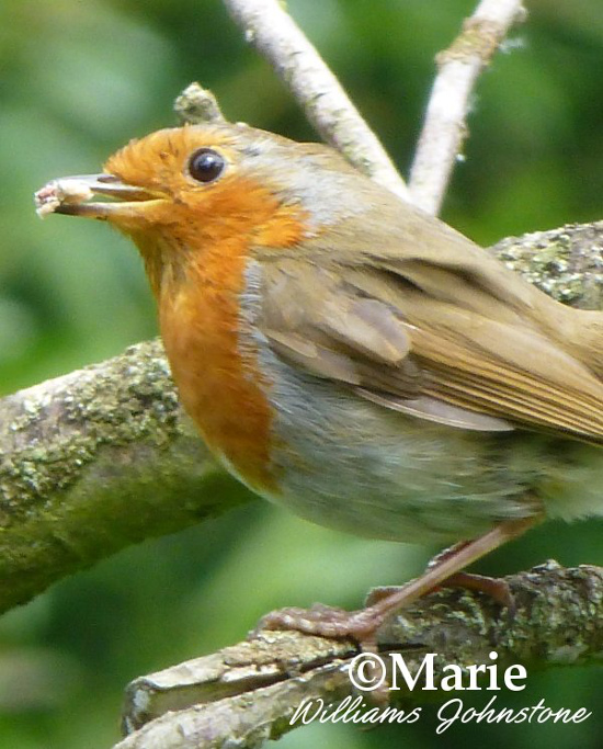 European robin bird with food in its beak on tree branch