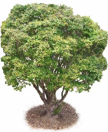 Jabuticabeira (Myrciaria cauliflora)