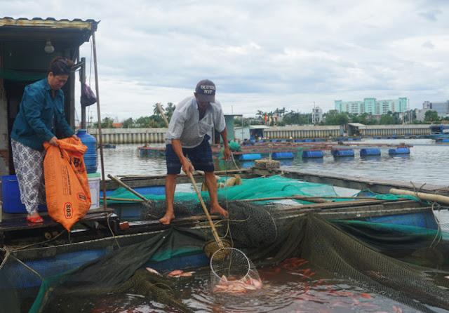 Hàng chục tấn cá chết nổi trắng lồng bè, người dân lâm cảnh trắng tay