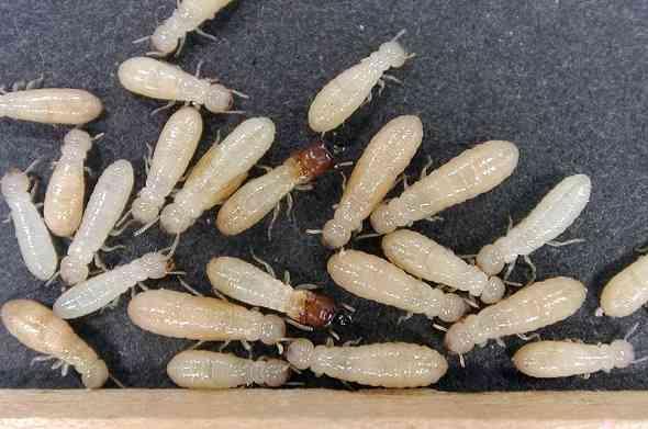 termites-النمل-الابيض