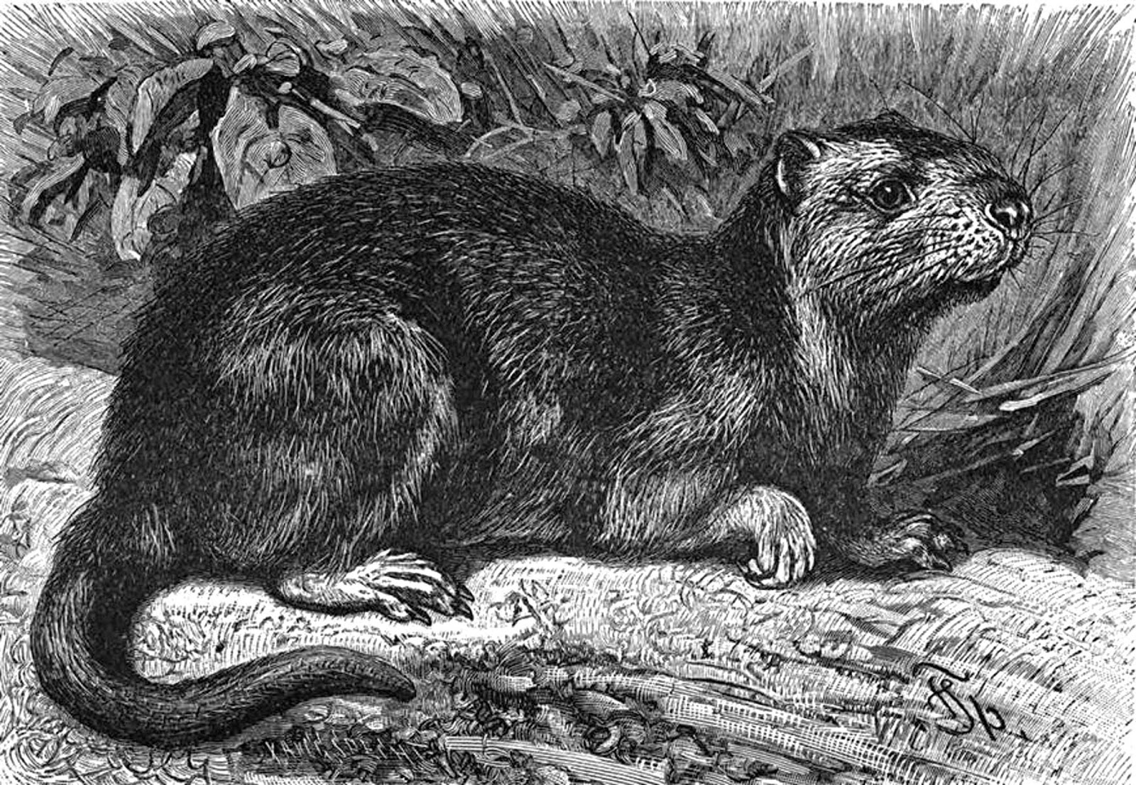 QUEMI, SPANISH RACCOON, MINI-SOLENODON, AND NESOPHONTIDS – A
