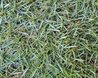 5 Jenis Rumput Taman Yang Cocok Untuk Rumah Bergaya Minimalis - Rumput Peking