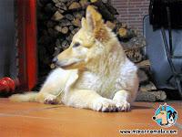 Cachorro Can de Palleiro junto a leña cortada