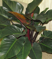 Tanaman Hias Philodendrons