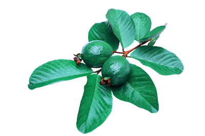 benefits of guava leaves-bestaiding.com