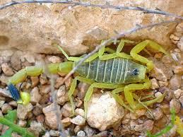 Escorpión palestino amarillo (Leiurus quinquestriatus)