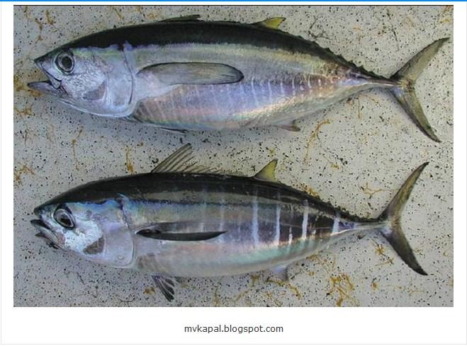 GAMBAR JenisJenis Ikan Terlengkap Lihat Detailnya Disini