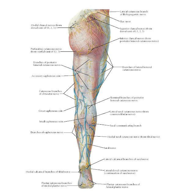 Superficial Nerves and Veins of Lower Limb: Posterior View Anatomy