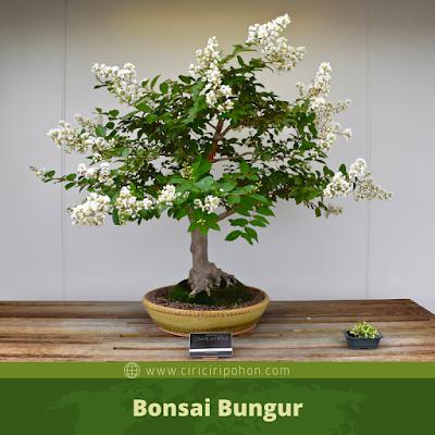 Bonsai Bungur
