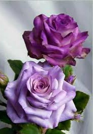 Bunga mawar yang cantik