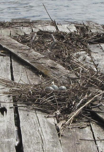 Гнездо чайки