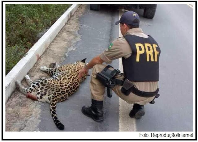 Foto de onça morta que circula na web não é de Juma.