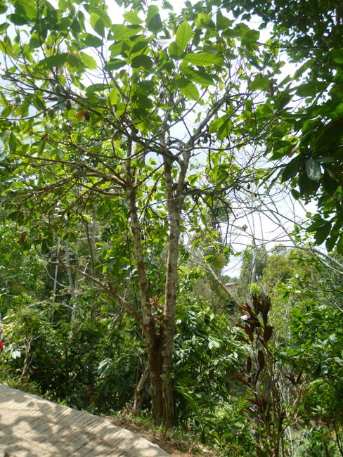 Arbol de cacao en el camino