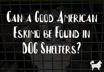 Can a Good American Eskimo be Found in DOG Shelters?