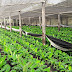 Entrega de plantines in vitro de cultivo de banano del Centro CEDEVA de Ceibo Trece
