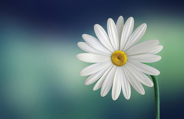 hoa cuc trang co y nghia gi
