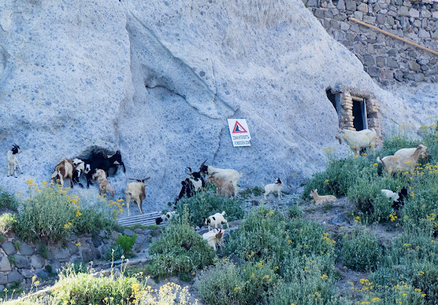 Scogliere di Punta della Guardia, Ponza - capre @Valeriaderiso
