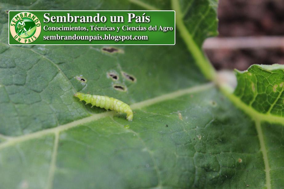gusano plaga agrícola