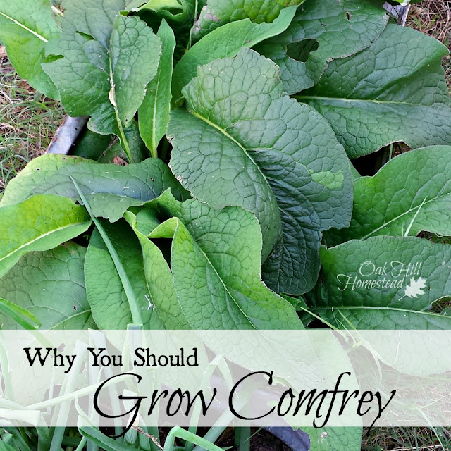 Why you should grow comfrey