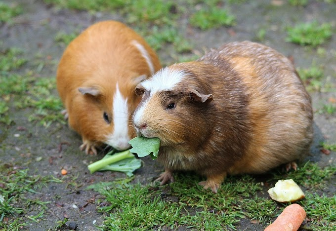 Fruits and Vegetables for Guinea Pigs