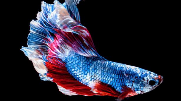 70 Koleksi Gambar Ikan Cupang Dan Jenisnya Gratis