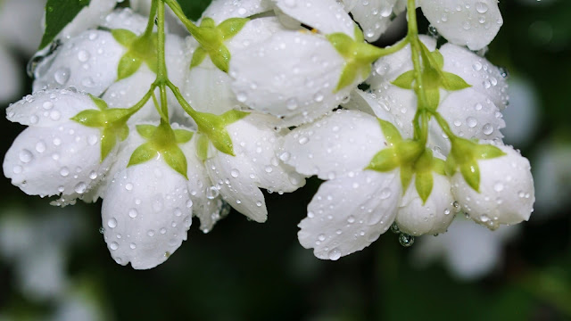 White spring flowers with waterdrops HD Wallpaper