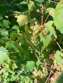 malvasia vino ibiza