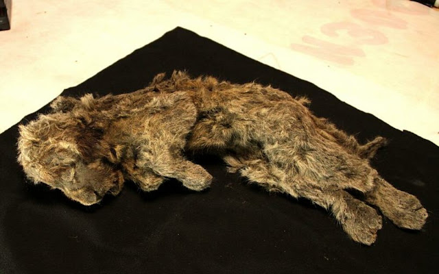 """Λιοντάρι «ηλικίας 28.000 χρόνων» βρέθηκε άριστα διατηρημένο στη Σιβηρία - Το ονόμασαν """"Σπάρτη"""""""