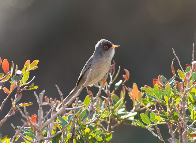 Balearic Warbler - Boquer Valley, Mallorca