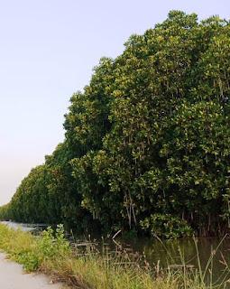 judul skripsi tentang manggrove
