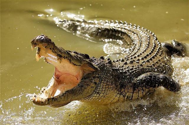 18 + Шокиран собственик на куче засне как крокодил го налапва и потапя (ВИДЕО)