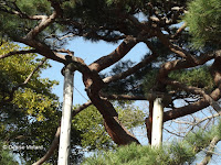 300-year old pine tree supports - Hama-Rikyu Garden, Tokyo, Japan