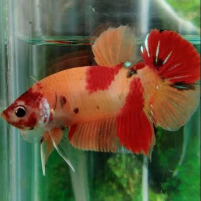 Inilah Jenis Ikan Cupang Betta Yang Lama Dan Terbaru Aneka Hewan Peliharaan Dan Tanaman Hias