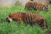 Harimau Mangsa Sapi dan Kambing Warga di Desa Lubuk Mandarsah