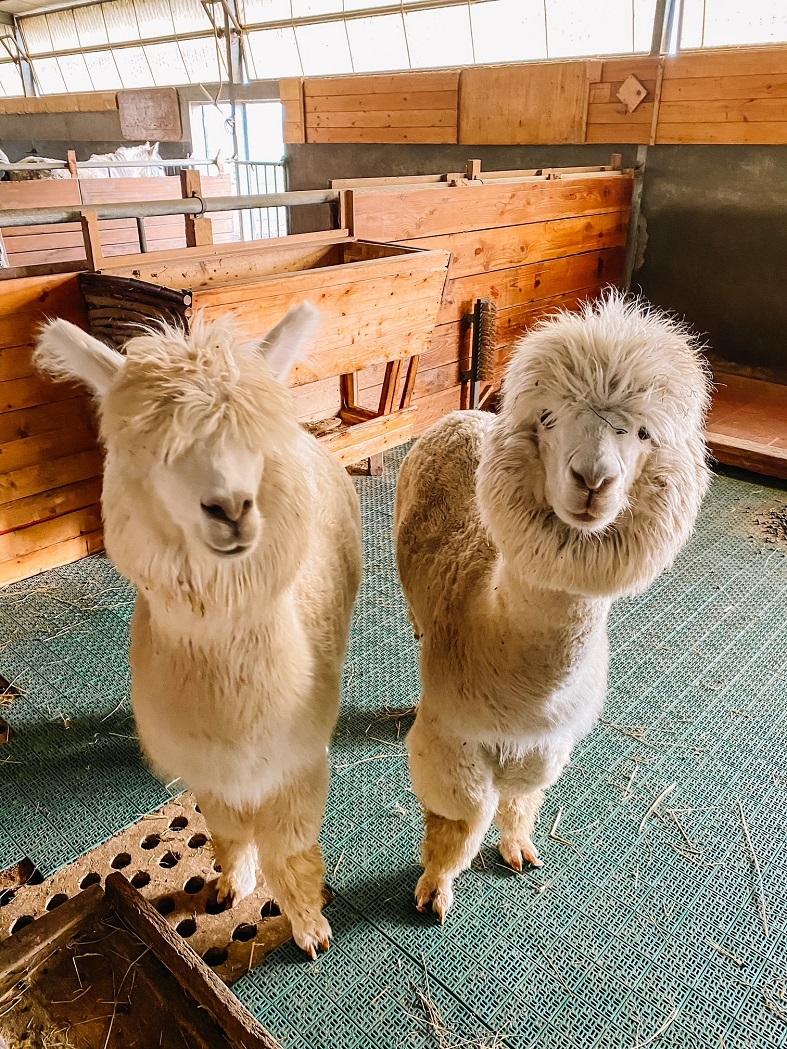 Gli alpaca di Cascina Salazzara
