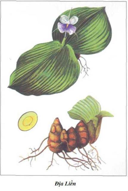 Địa Liền - Kaempferia galanga - Nguyên liệu làm thuốc Chữa Bệnh Tiêu Hóa