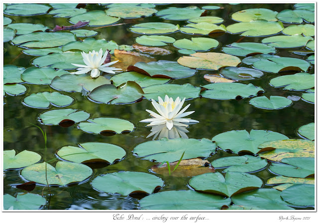 Echo Pond: ... circling over the surface...
