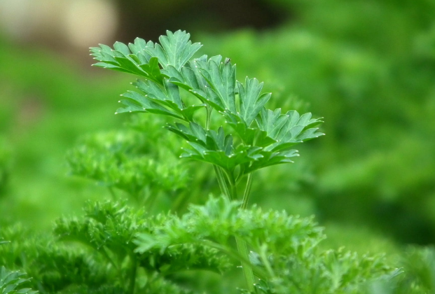 What are the benefits of parsley for the body - for the skin - for slimming