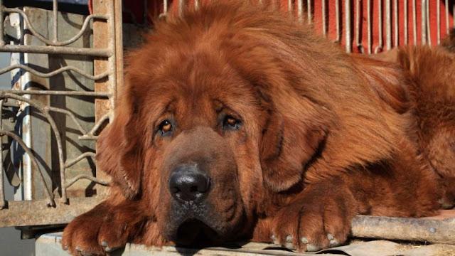 El perro más caro del mundo, el mastín tibetano es abandonado