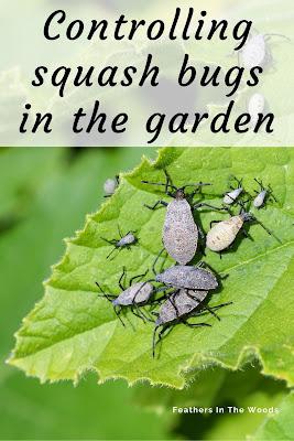 Squash bugs on zucchini plant