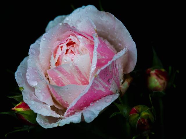 "Rosa Delbard ""Marc Chagall"""