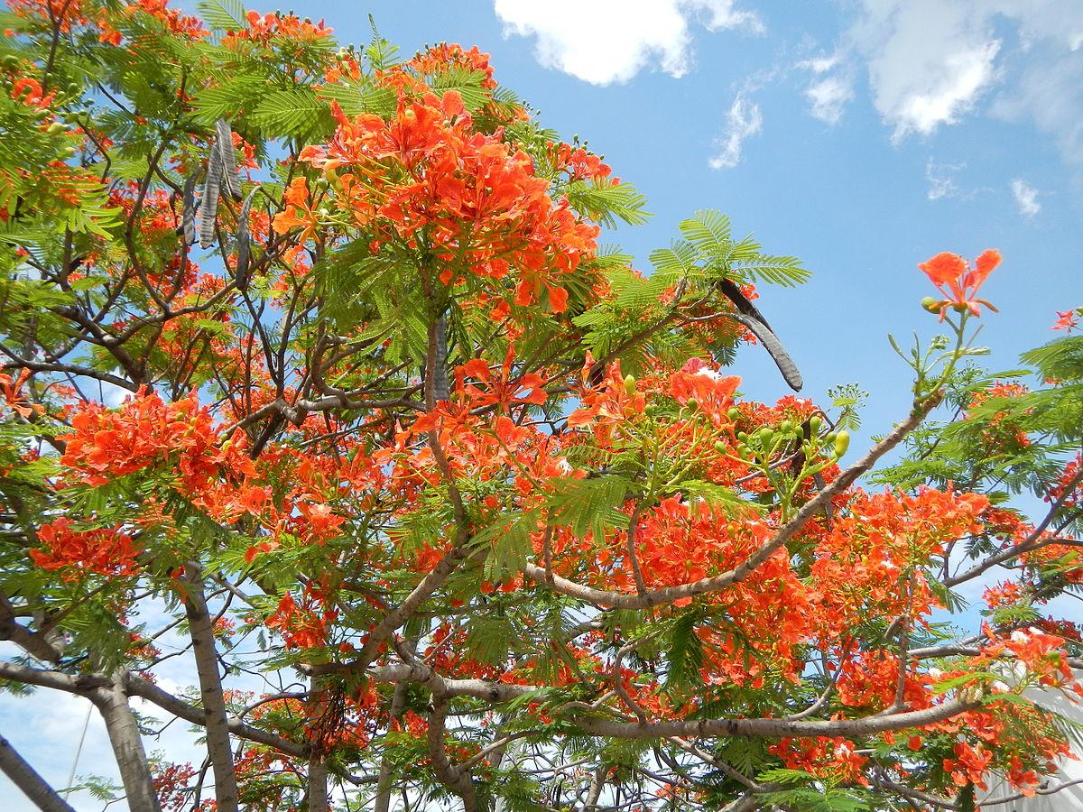 Jual Benih / Biji Pohon Flamboyan Merah