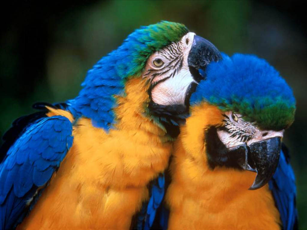 رومانسية beautiful-birds-blue