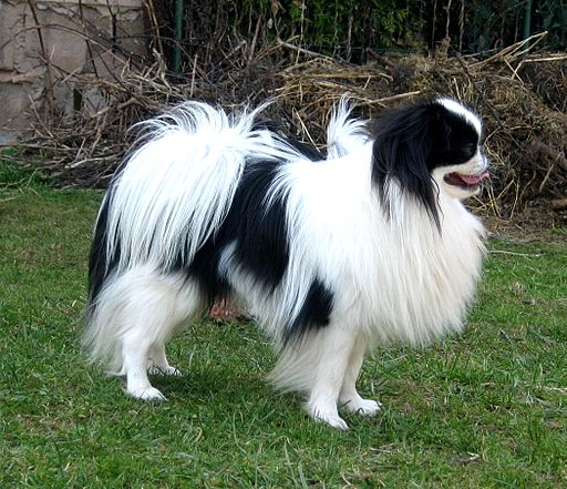 انواع الكلاب الصينية