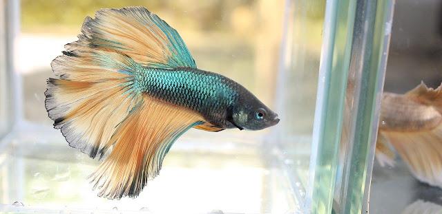 5 Cara Mudah Merawat Ikan Cupang Aduan Agar Kuat & Ganas