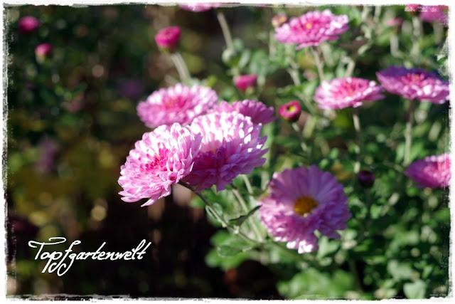 Gartenblog Topfgartenwelt Gartengestaltung: rosa Herbstchrysanthemen als letzter Farbtupfer im Herbst